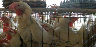 Gallinas en la industria del huevo