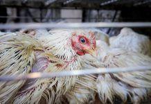 La industria de la carne de pollo en India. Investigación de Igualdad Animal. Producción cárnica