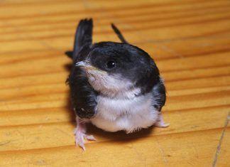Protejamos los nidos de golondrinas y vencejos