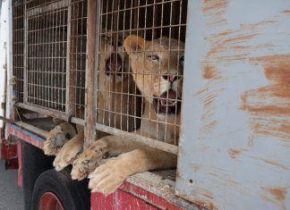 Circo español entrega animales