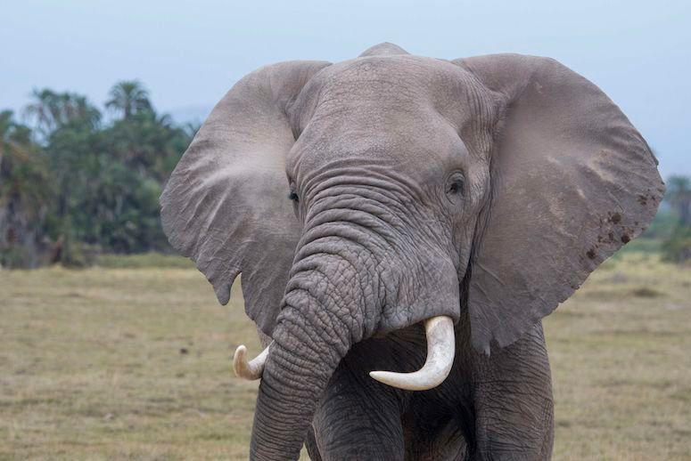 Elefante comercio de marfil