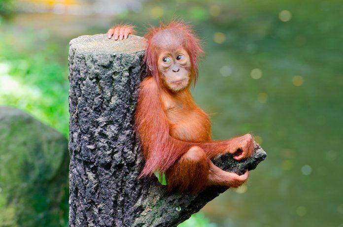 primates extinción