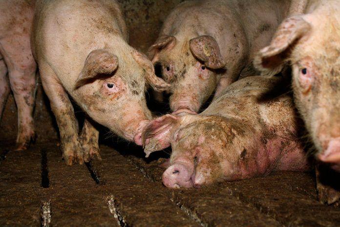 Sin precedentes: tribunal alemán confirma legalidad de investigación encubierta en granjas