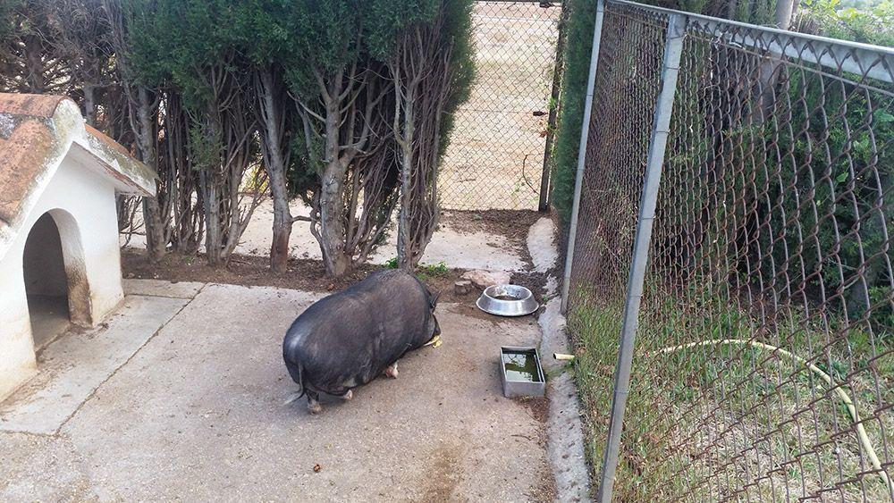 Cerdo vietnamita rescatado con obesidad   FAADA