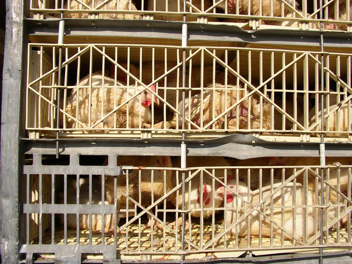 huevos gallinas
