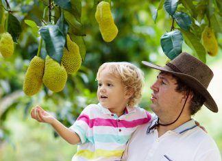 Jackfruit, alimento útil, pero no proteico