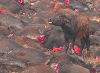 Igualdad Animal recoge firmas para detener la masacre de Gadhimai