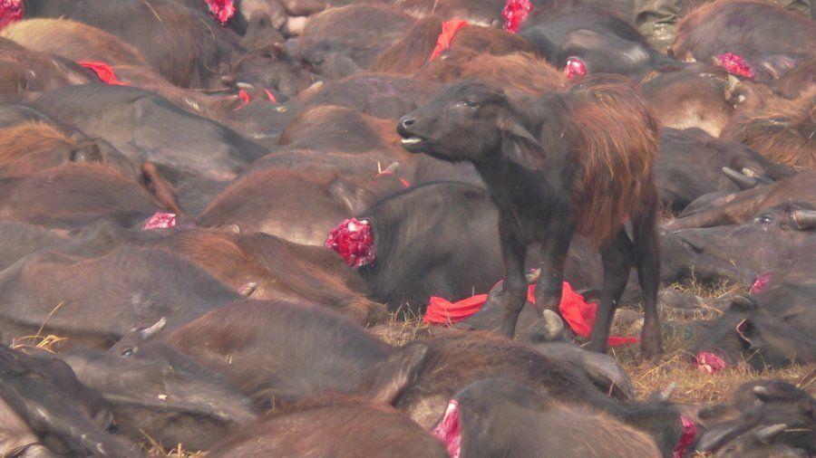 Igualdad Animal recoge firmas para parar la masacre de Gadhimai