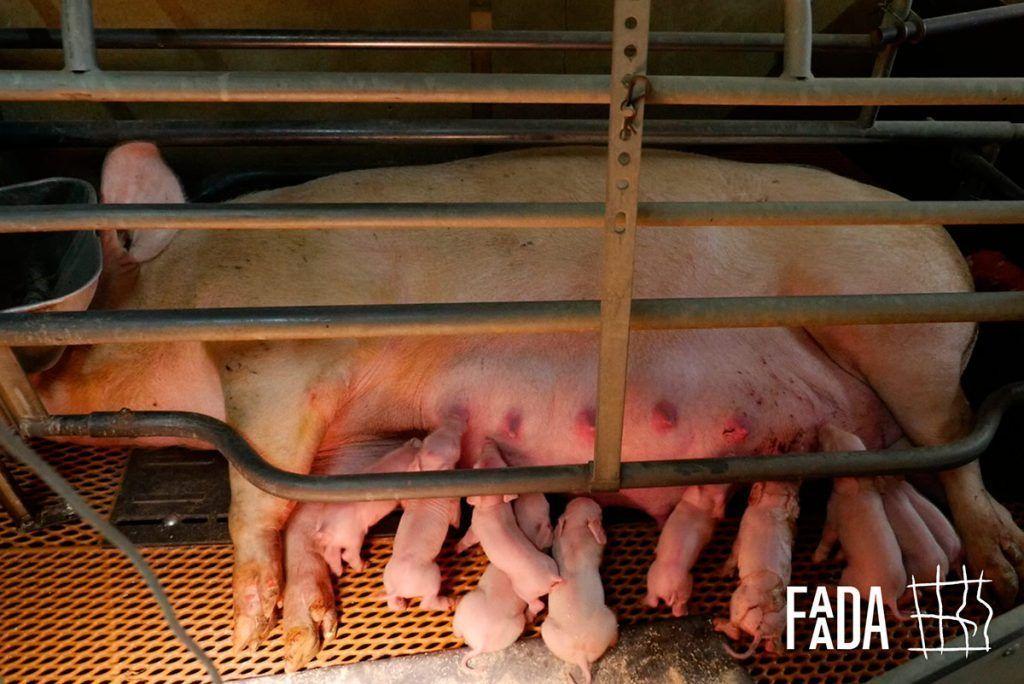 Momento histórico para los animales considerados de granja end the cage age