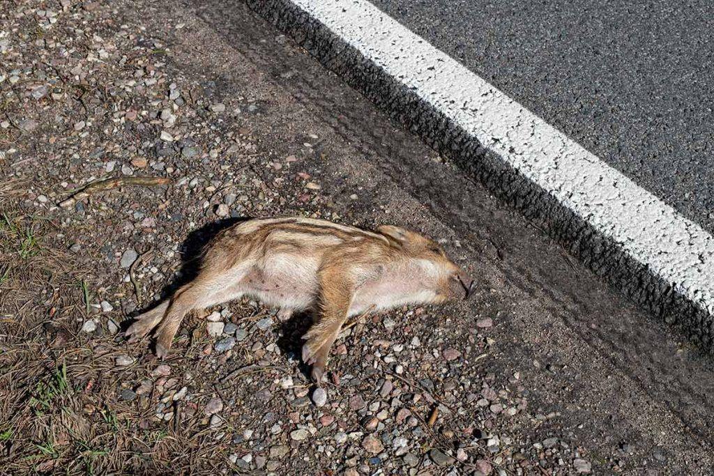 Pasos de carretera: una solución necesaria para animales humanos y no humanos