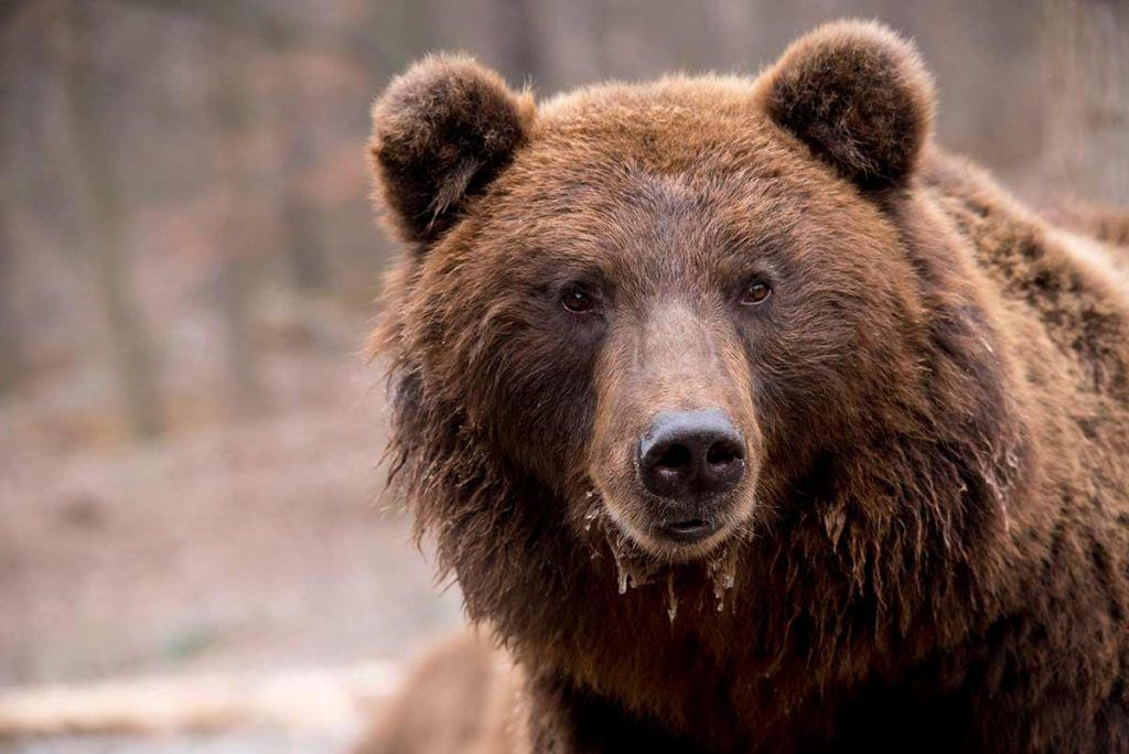 China utiliza la bilis de oso para tratar la COVID-19