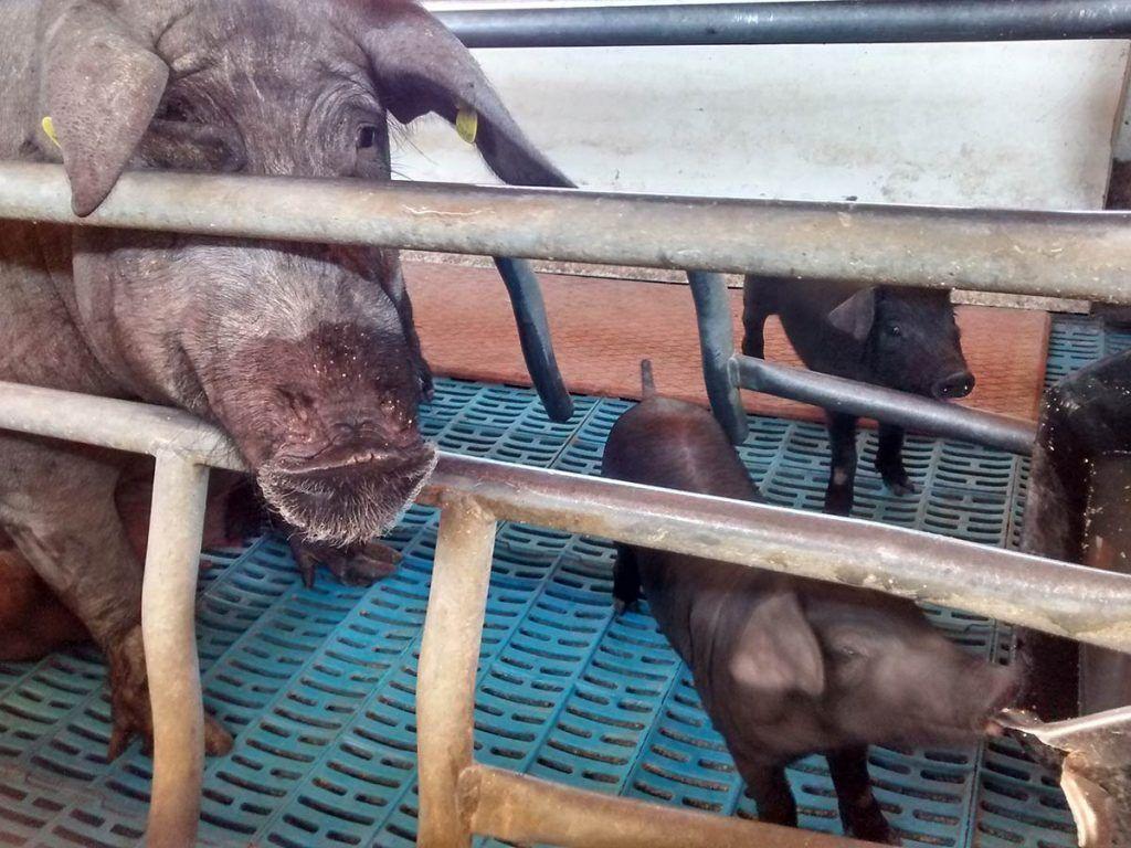 Los daños colaterales de la COVID-19 sobre los animales destinados al consumo