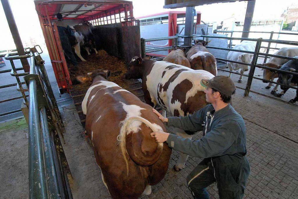 El sufrimiento de los animales durante el transporte de larga distancia a juicio en la Unión Europea