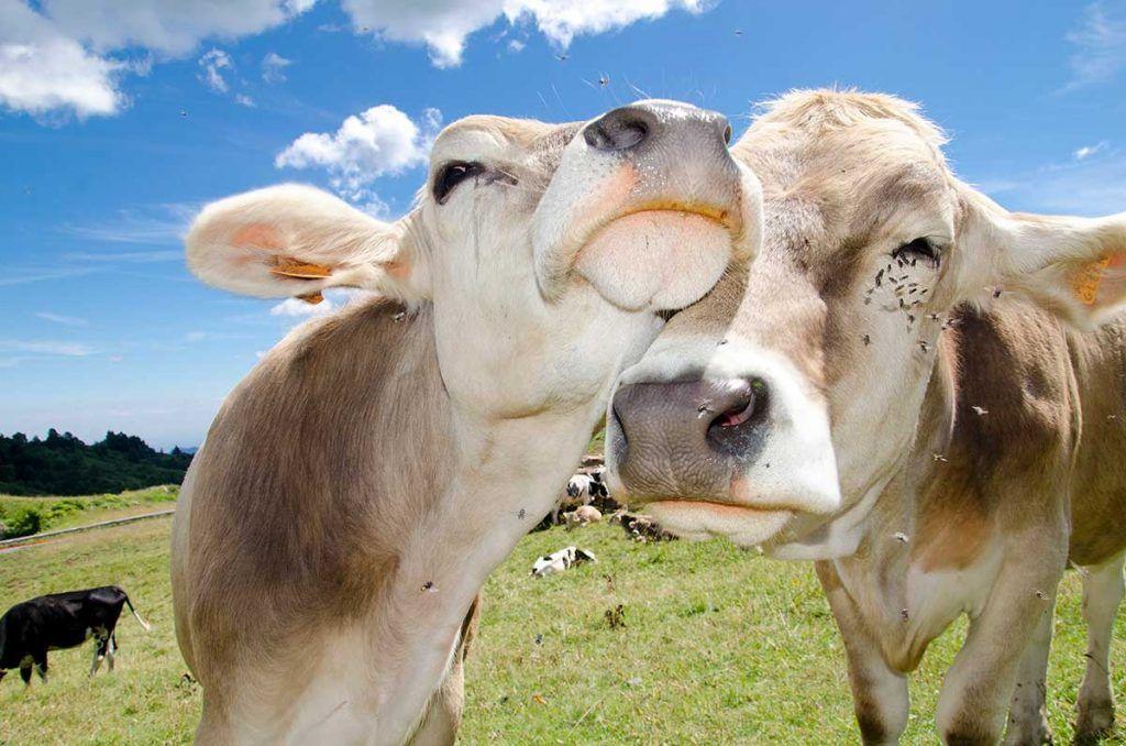 Vacas y vacunas