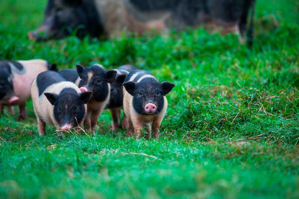 Plan de gestión ética para los cerdos vietnamitas