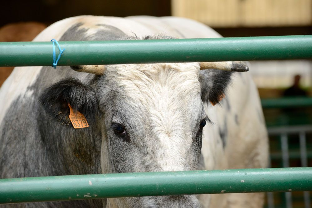 Animals' Angels pone voz al sufrimiento de los animales de 'granja'