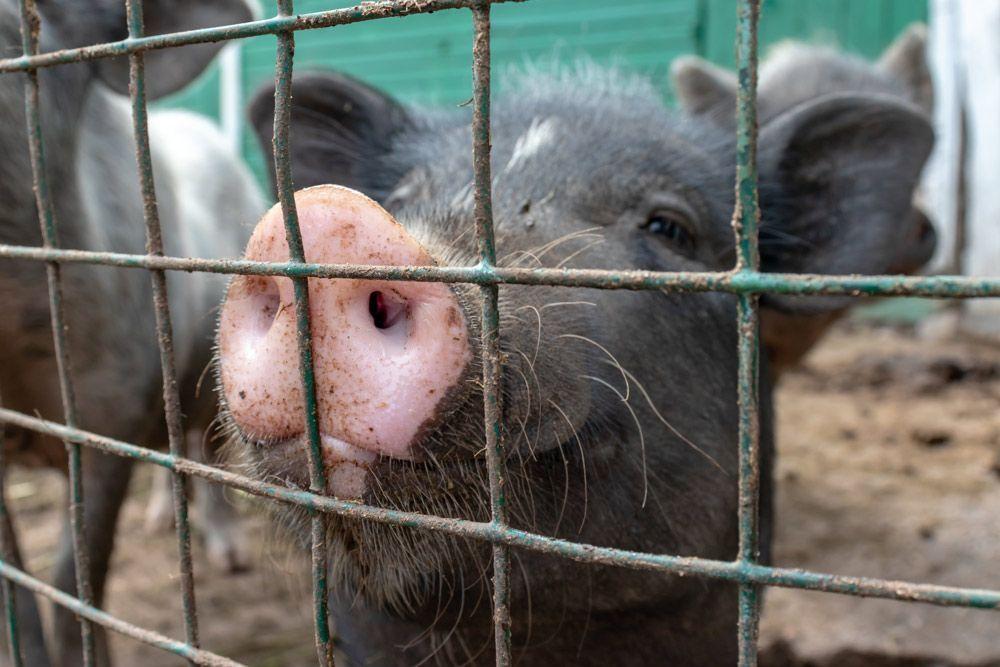 se ha comprometido hoy a eliminar gradualmente las jaulas en la cría de animales en toda la UE para 2027, haciendo historia para los animales de granja.