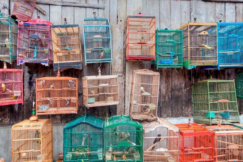 Las implicaciones del silvestrismo en las aves: cantar privados de libertad